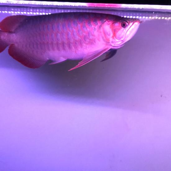 天气热鱼褪色厉害…… 观赏鱼常见疾病 南通水族批发市场第2张