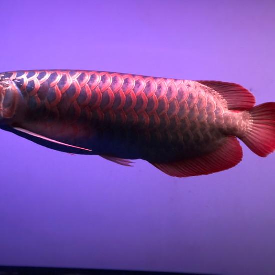 天气热鱼褪色厉害…… 观赏鱼常见疾病 南通水族批发市场第7张