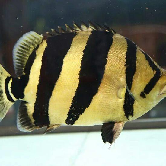 热的要命,分享一个泰虎的个人写真。 观赏鱼常见疾病 南通水族批发市场第1张