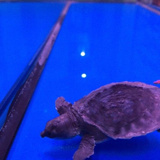 我的小猪怎么治疗?#猪鼻龟# 观赏鱼常见疾病 南通水族批发市场第2张