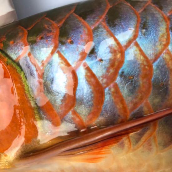 我亲手食养七个月的泗水超血王 观赏鱼常见疾病 南通水族批发市场第1张