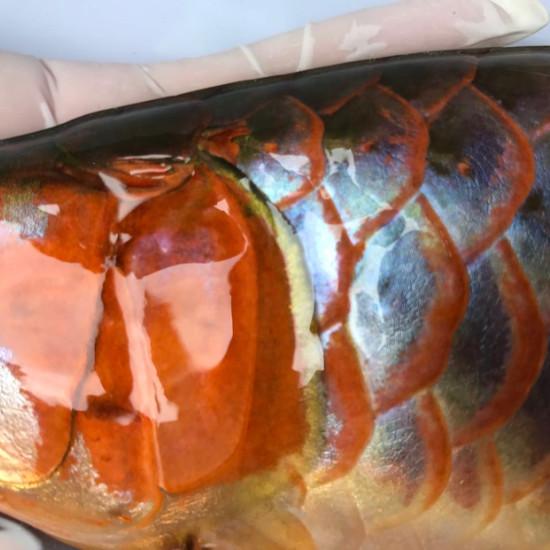 我亲手食养七个月的泗水超血王 观赏鱼常见疾病 南通水族批发市场第3张