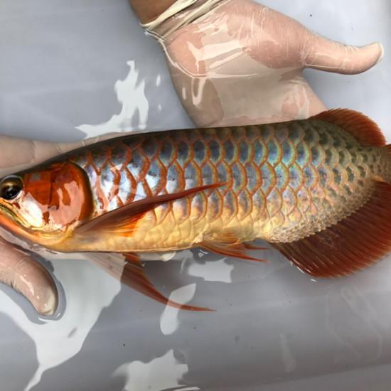 我亲手食养七个月的泗水超血王 观赏鱼常见疾病 南通水族批发市场第7张