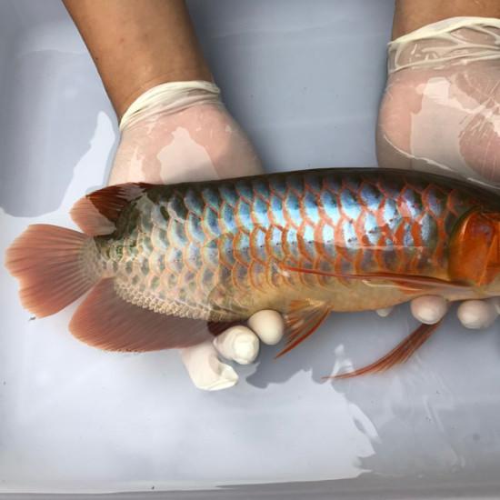 我亲手食养七个月的泗水超血王 观赏鱼常见疾病 南通水族批发市场第8张