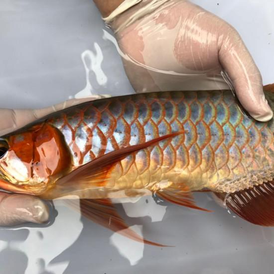 我亲手食养七个月的泗水超血王 观赏鱼常见疾病 南通水族批发市场第9张
