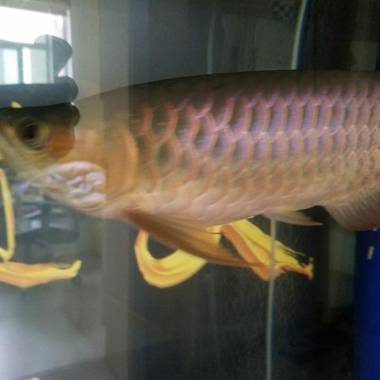 退色!退色!退色!和温度有关吗 观赏鱼常见疾病 南通水族批发市场第1张