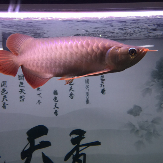 16年8月17日进家门,当时20公分,下图分别9张,大约每2到3张是同一个时间拍 观赏鱼常见疾病 南通水族批发市场第3张
