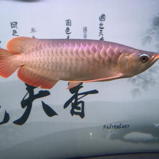 16年8月17日进家门,当时20公分,下图分别9张,大约每2到3张是同一个时间拍 观赏鱼常见疾病 南通水族批发市场第6张