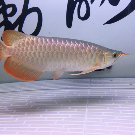 16年8月17日进家门,当时20公分,下图分别9张,大约每2到3张是同一个时间拍 观赏鱼常见疾病 南通水族批发市场第9张