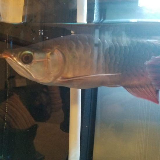 各位大神,帮我看看,我这条印尼红龙养了三个月了,为什么身体越来越发绿呢?有红龙身 观赏鱼常见疾病 南通水族批发市场第1张