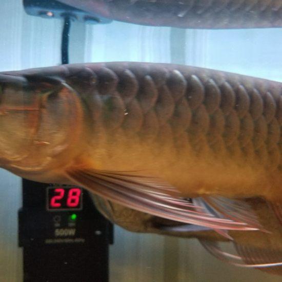 各位大神,帮我看看,我这条印尼红龙养了三个月了,为什么身体越来越发绿呢?有红龙身 观赏鱼常见疾病 南通水族批发市场第4张