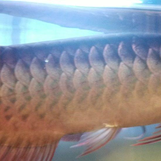 各位大神,帮我看看,我这条印尼红龙养了三个月了,为什么身体越来越发绿呢?有红龙身 观赏鱼常见疾病 南通水族批发市场第5张
