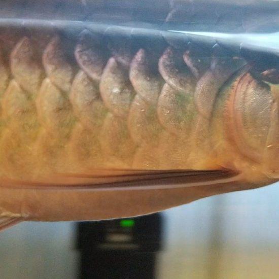 各位大神,帮我看看,我这条印尼红龙养了三个月了,为什么身体越来越发绿呢?有红龙身 观赏鱼常见疾病 南通水族批发市场第8张