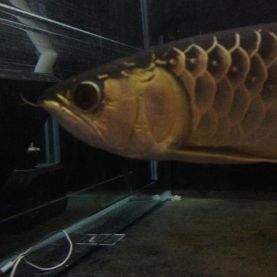 老炮成长记,一个月的时间,初露锋芒 观赏鱼常见疾病 南通水族批发市场第1张