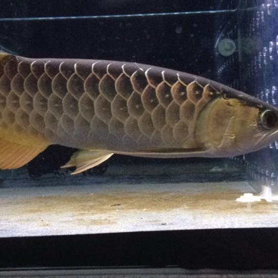 老炮成长记,一个月的时间,初露锋芒 观赏鱼常见疾病 南通水族批发市场第2张