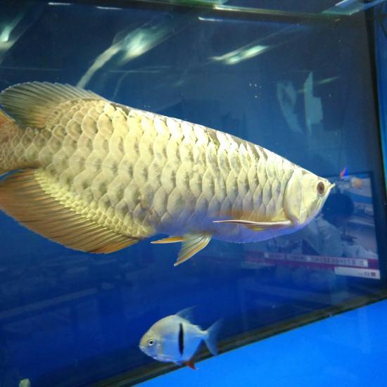 南通大型观赏鱼缸金龙鱼鳞片掉了一半会长好吗