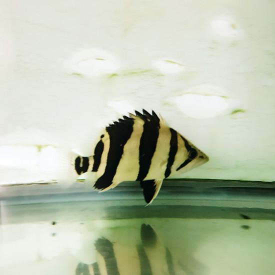 看着貌似大了点。 观赏鱼常见疾病 南通水族批发市场第2张