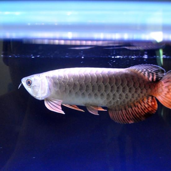 记几个入手两个多月慢养滴小龙…[keai][keai][keai] 观赏鱼常见疾病 南通水族批发市场第3张