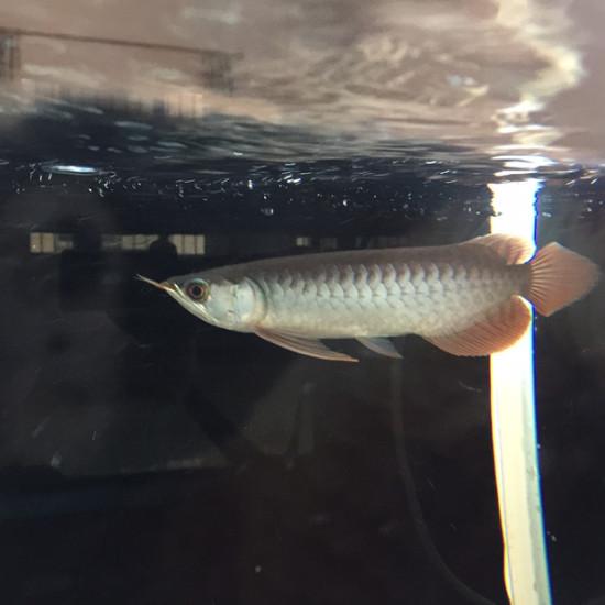 自然光! 观赏鱼常见疾病 南通水族批发市场第4张