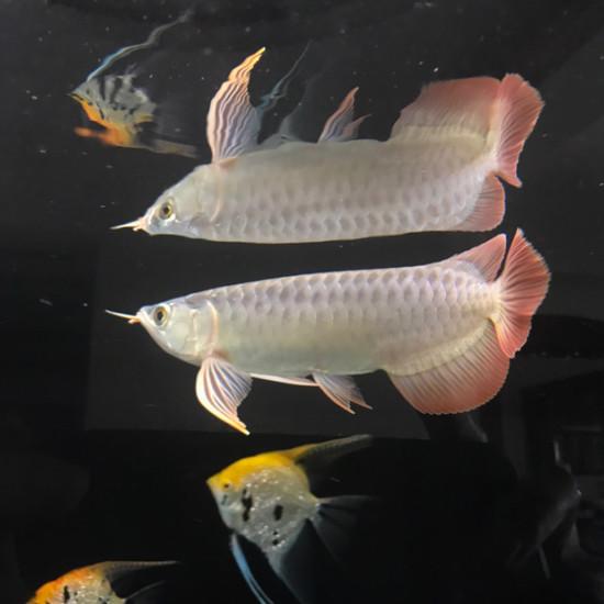 给爱鱼建个档[ciya] 观赏鱼常见疾病 南通水族批发市场第3张
