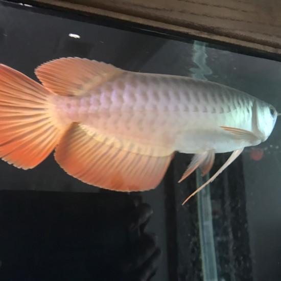 给爱鱼建个档[ciya] 观赏鱼常见疾病 南通水族批发市场第4张