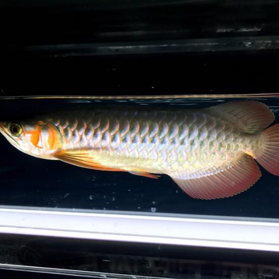 33公分从来19公分6个半月[dabing][dabing] 观赏鱼常见疾病 南通水族批发市场第2张