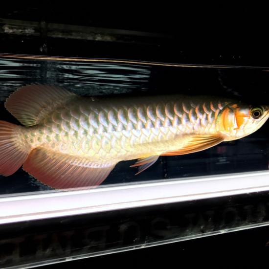 33公分从来19公分6个半月[dabing][dabing] 观赏鱼常见疾病 南通水族批发市场第5张