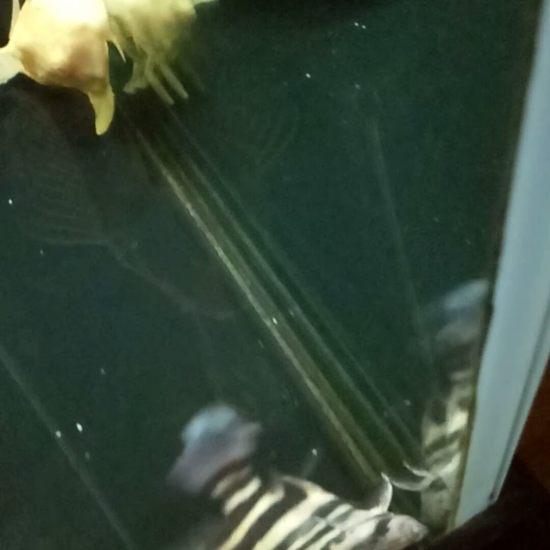 双人字虎鱼,长途运输缺氧严重,导致躺在缸底,谁有办法啊,大神赐教!