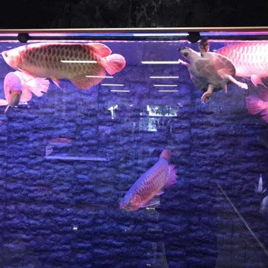 这才是红灯。区别自己看吧。哪个好。上红灯那条可更红了 ??? 观赏鱼常见疾病 南通水族批发市场第2张