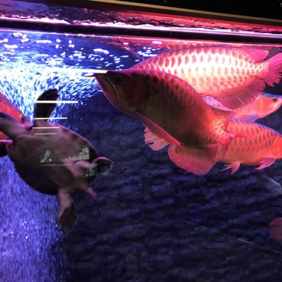 这才是红灯。区别自己看吧。哪个好。上红灯那条可更红了 ??? 观赏鱼常见疾病 南通水族批发市场第4张