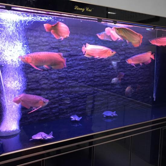 这才是红灯。区别自己看吧。哪个好。上红灯那条可更红了 ??? 观赏鱼常见疾病 南通水族批发市场第6张