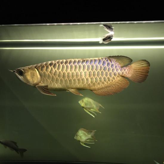 开个小夜灯,晚安#镇缸之鱼#