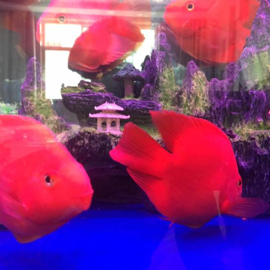 新开的缸放了些南通鱼缸批发市场鹦鹉鱼看看怎么样 观赏鱼常见疾病 南通水族批发市场第1张