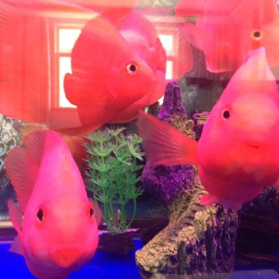 新开的缸放了些南通鱼缸批发市场鹦鹉鱼看看怎么样 观赏鱼常见疾病 南通水族批发市场第2张