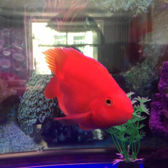 新开的缸放了些南通鱼缸批发市场鹦鹉鱼看看怎么样 观赏鱼常见疾病 南通水族批发市场第5张