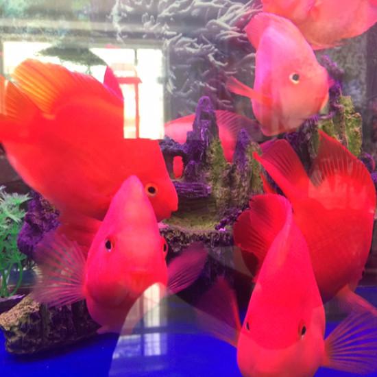 新开的缸放了些南通鱼缸批发市场鹦鹉鱼看看怎么样 观赏鱼常见疾病 南通水族批发市场第6张