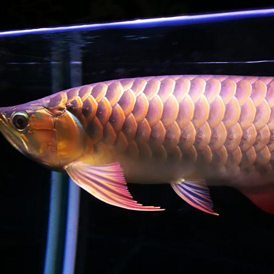 晚安,我的小三无[shuijiao] 观赏鱼常见疾病 南通水族批发市场第4张