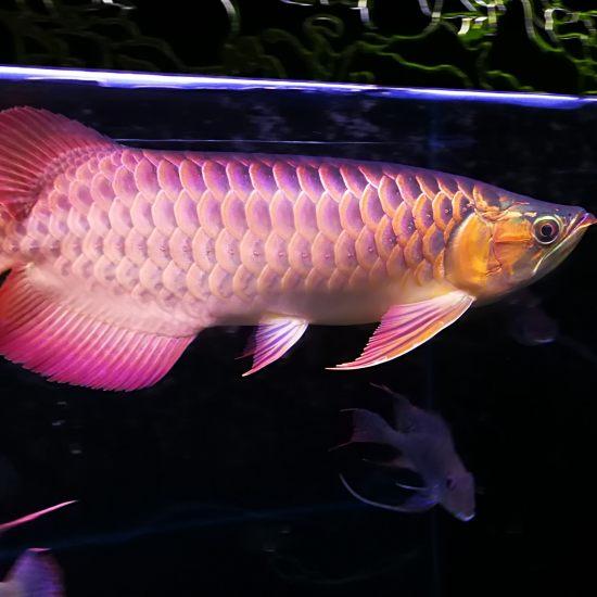 晚安,我的小三无[shuijiao] 观赏鱼常见疾病 南通水族批发市场第6张
