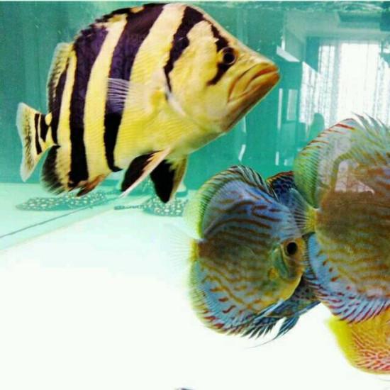 红龙皇冠混养,用黑底好还是铺格子瓷砖好? 观赏鱼常见疾病