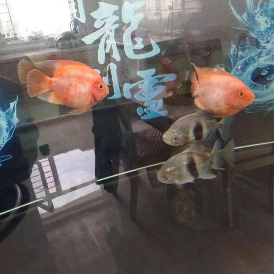 这鹦鹉真白? 观赏鱼常见疾病