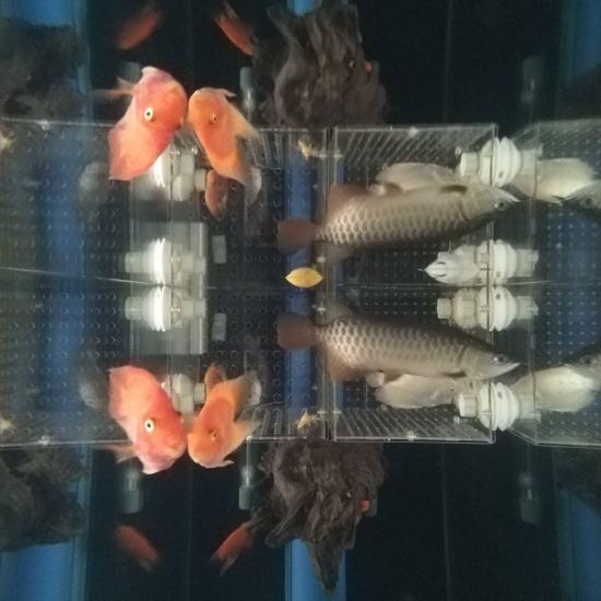 #签到#跟空气缸差不多了[aini] 观赏鱼常见疾病 南通水族批发市场第1张