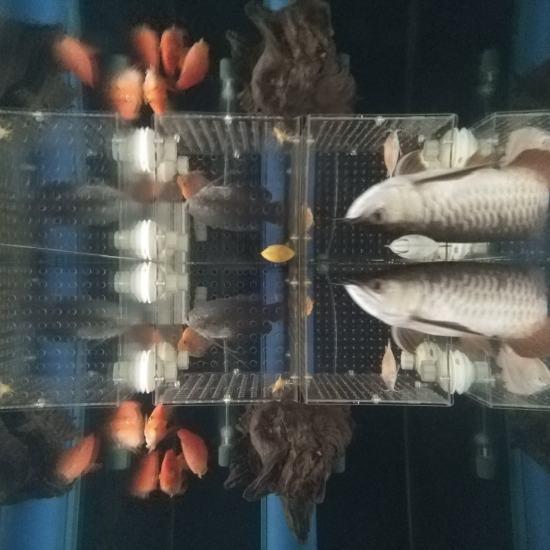 #签到#跟空气缸差不多了[aini] 观赏鱼常见疾病 南通水族批发市场第4张