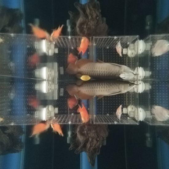 #签到#跟空气缸差不多了[aini] 观赏鱼常见疾病 南通水族批发市场第6张