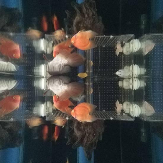 #签到#跟空气缸差不多了[aini] 观赏鱼常见疾病 南通水族批发市场第7张