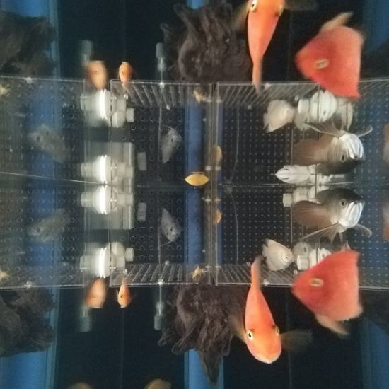 #签到#跟空气缸差不多了[aini] 观赏鱼常见疾病 南通水族批发市场第9张