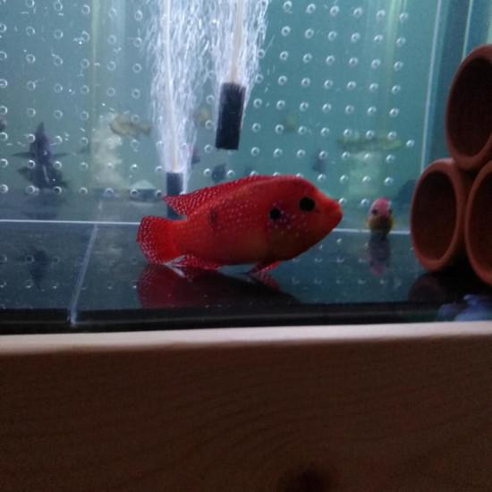 是不是美颜了啊,这么红南通鱼缸定做定制 观赏鱼常见疾病 南通水族批发市场第2张