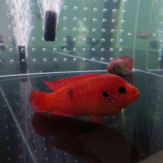 是不是美颜了啊,这么红南通鱼缸定做定制 观赏鱼常见疾病 南通水族批发市场第3张