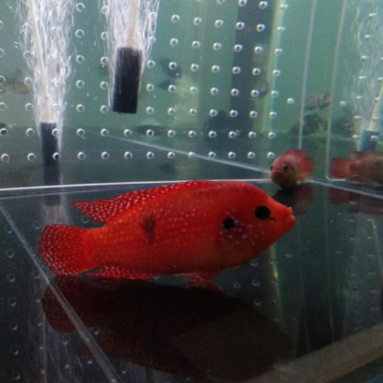 是不是美颜了啊,这么红南通鱼缸定做定制 观赏鱼常见疾病 南通水族批发市场第4张