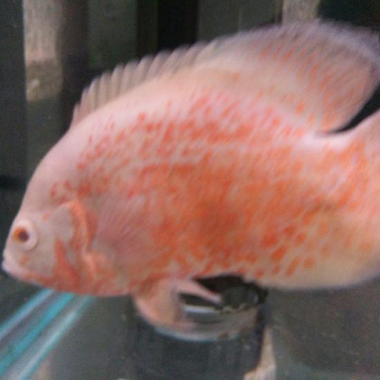 这地图是公鱼还是母鱼呀。??? 天津龙鱼论坛 天津龙鱼第2张