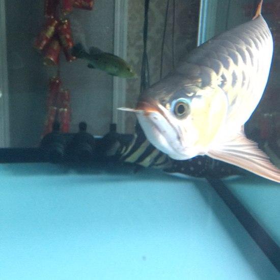 求大神啊,龙鱼标记位置对称开裂 巴西亚混身白毛加蒙眼 怎么办怎么办 天津龙鱼论坛 天津龙鱼第2张